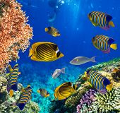 picture of fire coral  - Tropical Fish and Coral Reef on Red Sea - JPG