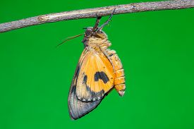 picture of moth  - Close up of newly born Othreis fullonia moth - JPG