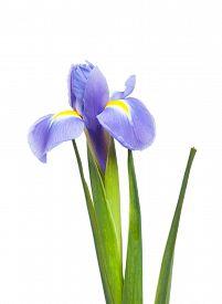 picture of purple iris  - Purple iris flower isolated on white background - JPG