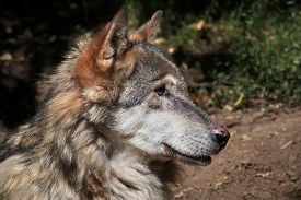 picture of lupus  - Eurasian wolf  - JPG