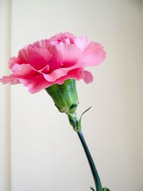 pic of carnations  - close up shot of a single pink carnation flower - JPG