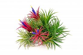 stock photo of tillandsia  - Airplant Tillandsia with flower on white background - JPG