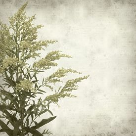 image of goldenrod  - textured old paper background with Solidago goldenrod plant - JPG