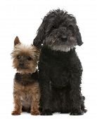 picture of 16 year old  - Old blind Yorkshire Terrier 14 years old and Cross breed dog 16 years old sitting in front of white background - JPG