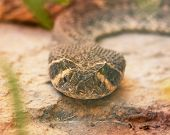 stock photo of western diamondback rattlesnake  - A Head Shot of a Western Diamondback Rattlesnake - JPG