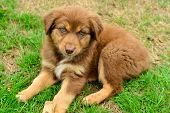 Постер, плакат: Red Tri Color Australian Shepherd Aussie Puppy