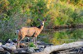 Solitary Mule Deer Standing