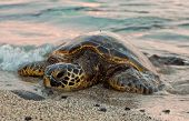 Resting Sea Turtle
