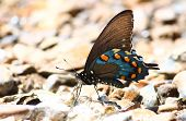 picture of natchez  - A Pipevine Swallowtail  - JPG