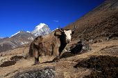 Yak in the mountains of Nepal.