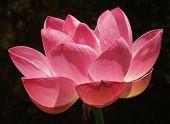 Large Pink Lotus W/Dark Bkgd