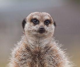 picture of meerkats  - photo portrait of a little alert meerkat  - JPG