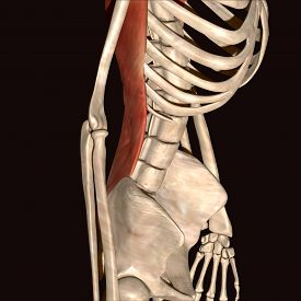 picture of sternum  - The rib cage is an arrangement of bones in the thorax of all vertebrates except the lamprey - JPG