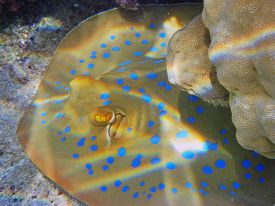 stock photo of stingray  - A Blue spotted stingray fish in Egypt - JPG