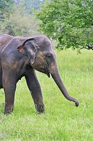stock photo of indian elephant  - Indian elephants in the wild natural habitat - JPG