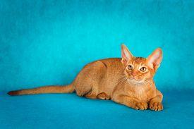 stock photo of sorrel  - sorrel abyssinian cat on dark green background - JPG
