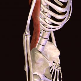 pic of sternum  - The rib cage is an arrangement of bones in the thorax of all vertebrates except the lamprey - JPG