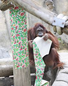 foto of orangutan  - an adult orangutan contentedly chewing on red and green Christmas wrapping paper - JPG