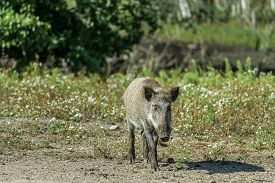 image of boar  - wild boars living in captivity fenced area - JPG
