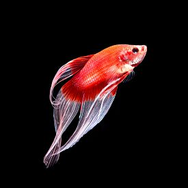 image of butterfly fish  - Red siamese fighting fish betta fish butterfly tail profile on black background - JPG