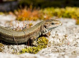 stock photo of lizards  - The viviparous lizard or common lizard  sitting on a rock - JPG