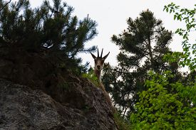 stock photo of italian alps  - A close up of a young chamois from italian alps Rupicapra Rupicapra - JPG