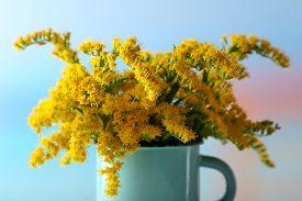 stock photo of mimosa  - Beautiful mimosa flowers on light blue background - JPG
