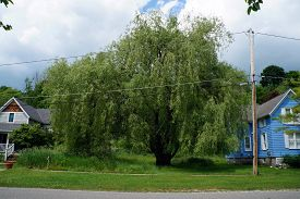 picture of weeping  - An old weeping willow tree in a residential area of Harbor Springs - JPG