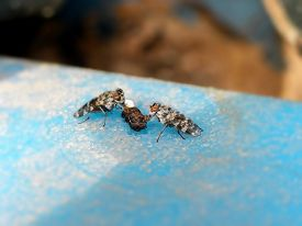 image of excrement  - A close-up view of a pair of Picture Winged flies eating on a 