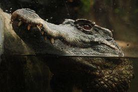 stock photo of crocodilian  - Smooth - JPG