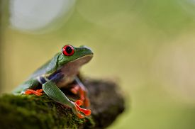 picture of red eye tree frog  - red eyed tree frog Costa Rica tropical rain forest animal - JPG