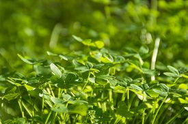 pic of shamrocks  - Artistic selective soft focus shamrock meadow with copy space for text - JPG
