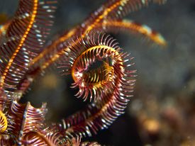 picture of cuttlefish  - Tropical coral reef with Hooded cuttlefish imitating feather star arms in Bali Indonesia - JPG