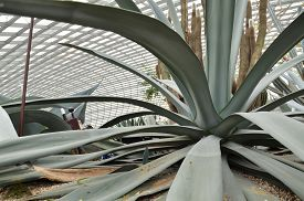 pic of century plant  - Close up of huge agave plants in Flower Dome at Gardens by the Bay Singapore - JPG