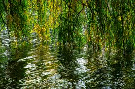picture of weeping  - Green and Yellow Weeping Willow Branches Reflected in Water in Park in the Autumn day - JPG