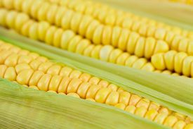 picture of corn cob close-up  - fresh ripe corn cobs macro, close up ** Note: Soft Focus at 100%, best at smaller sizes - JPG