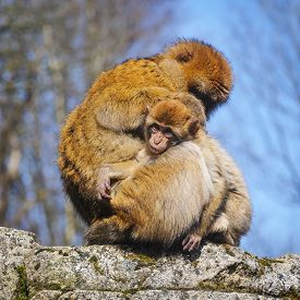 picture of macaque  - Adult Female Barbary Macaque With  Cub - JPG