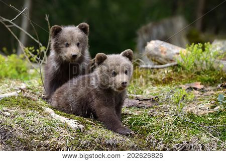 poster of Brown Bear Cub