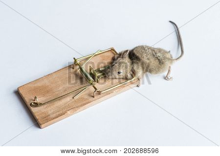 Gray Mouse Trapped
