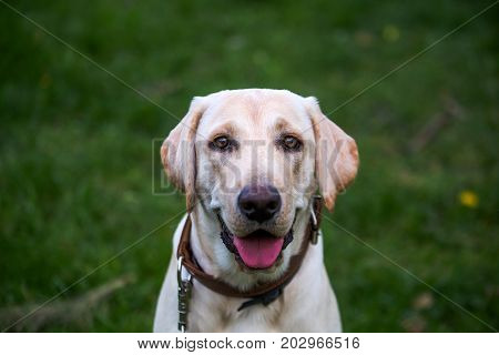 poster of Smiling Labrador Retriever also labrador labradorite for a walk looks in the frame. Portrait of a Labrador's green grass with dandelions. Dog in collar Dog Year 2018.