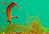 newt swimming under water aquatic animal amphibian of small freshwater ponds endangered species and