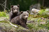 Brown Bear Cub poster