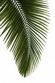 Green palm tree isolated on white background,professional process from 16bit RAW and Prophoto RGB co