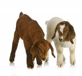 goat twins - two south african boer goat twins on white background