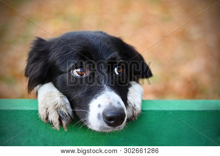 poster of Stray Sad Black White Dog In Autumn Park Looking Depressed. Homeless Witty Dog With Sad Eyes Lookin
