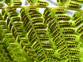 image of spores  - Closeup of fern leaves  - JPG