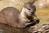 Oriental Small-clawed Otter, Aonyx Cinereus, Also Known As The Asian Small-clawed Otter Eating Fish. poster