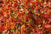 Autumn Bush With Blueberry Leaves Scene. Red Autumn Leaves And Black Berries Close Up. Autumn Leaves poster