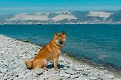 Young Pedigree Dog Resting On The Beach. Red Shiba Inu Dog Sitting Near The Black Sea In Novorossiys poster