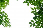 Tropical Tree Leaves With Branches On White Isolated For Green Foliage Backdrop poster